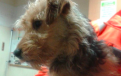 Irish Rail search for owner of lost commuter dog who took the DART to Pearse this morning