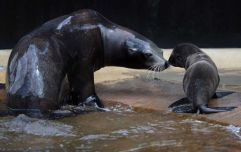 Dublin Zoo has just welcomed three new sea lion pups and they are adorable