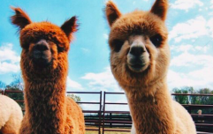 This treehouse Airbnb comes with a llama and alpaca farm for endless joy