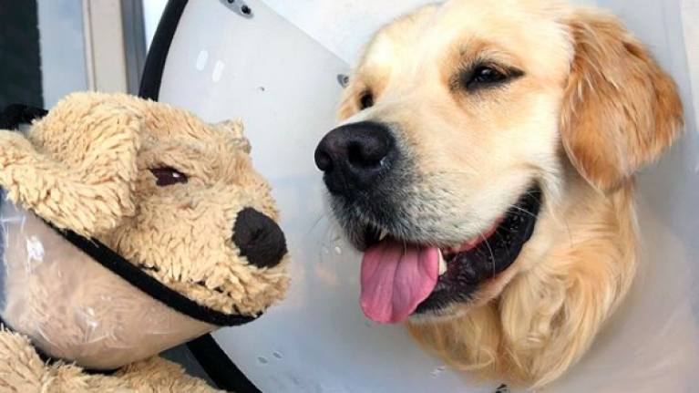 Golden retriever who brings his stuffed doggy toy everywhere is killing us with cuteness