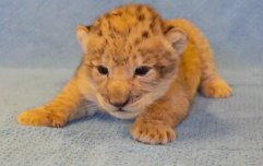 This lion cub was the inspiration for baby Simba in The Lion King