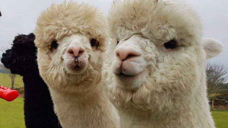 You can now do alpaca yoga on a Galway farm and we are so there