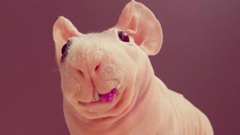 This bald guinea pig from Poland has an Instagram account that's truly worth following