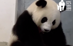 'Meng Meng became a mom!' Berlin Zoo celebrates the rare birth of panda twins