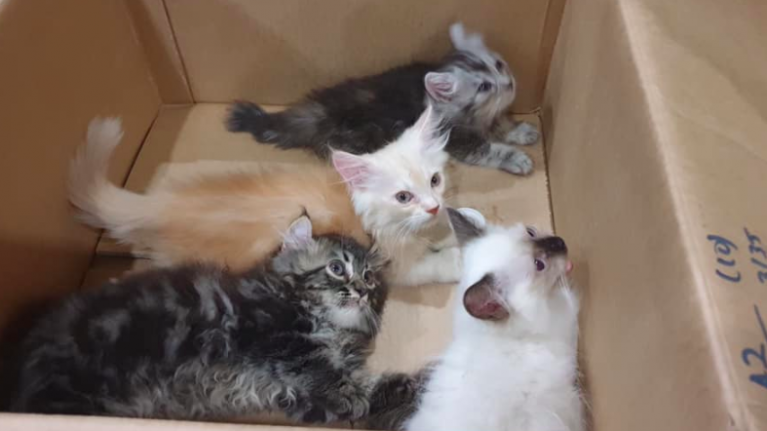 Large bulge in man's trousers turns out to be four smuggled kittens