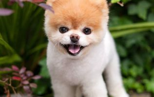 Social media sensation Boo the Pomeranian dies aged 12