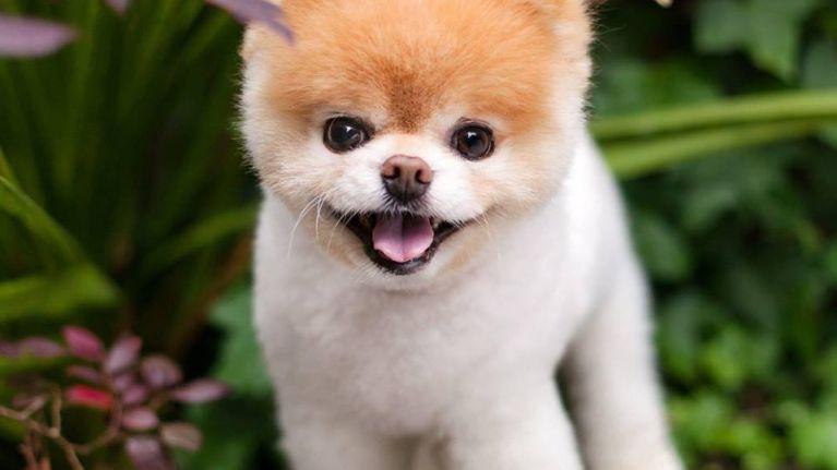 Social media sensation Boo the Pomeranian dies aged 12