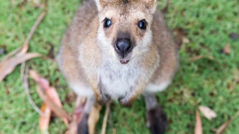 Video captures baby kangaroo in mum's pouch and it's not how you think it would look