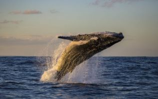 Commercial whaling has resumed in Japan after a 31 year ban on the practice
