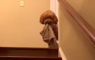 This dog won't go to bed without a toy or blanket and the video is too darn CUTE