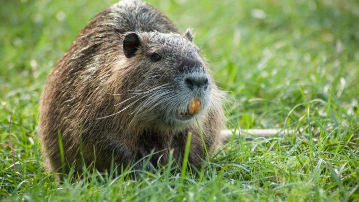 Dubliners warned about 'large invasive rodent' with bright orange teeth