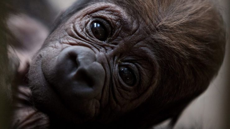There's a new (and very cute) baby gorilla at Dublin Zoo