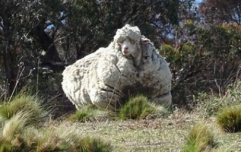 The world's wooliest sheep, Chris, has sadly passed away