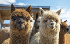 Wicklow to host a magical Christmas market... featuring festive alpacas