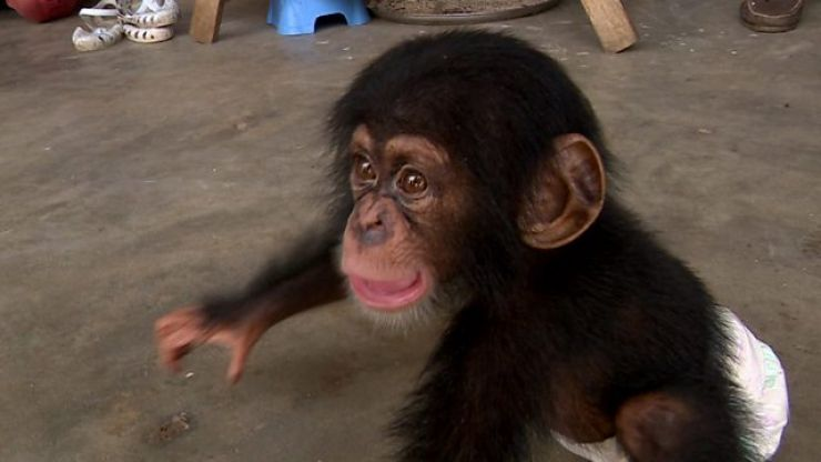BBC to make a three-part series about a home for orphaned baby chimpanzees