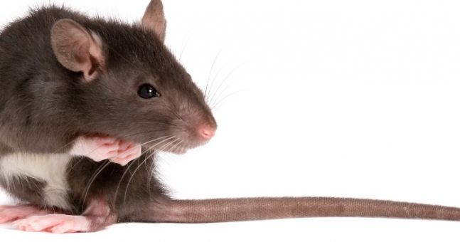 Puke! A Record Number Of Rats Will Invade Our Homes This Winter
