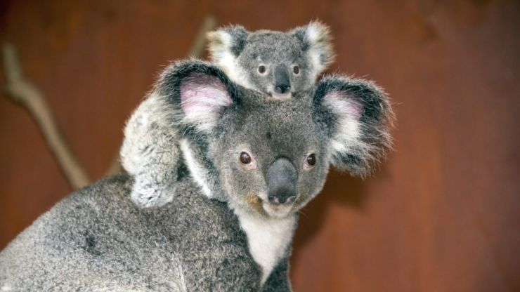 Australian wildlife park welcomes first baby koala following bushfires