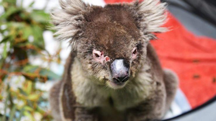 A koala hospital has opened up in a primary school near Adelaide, Australia