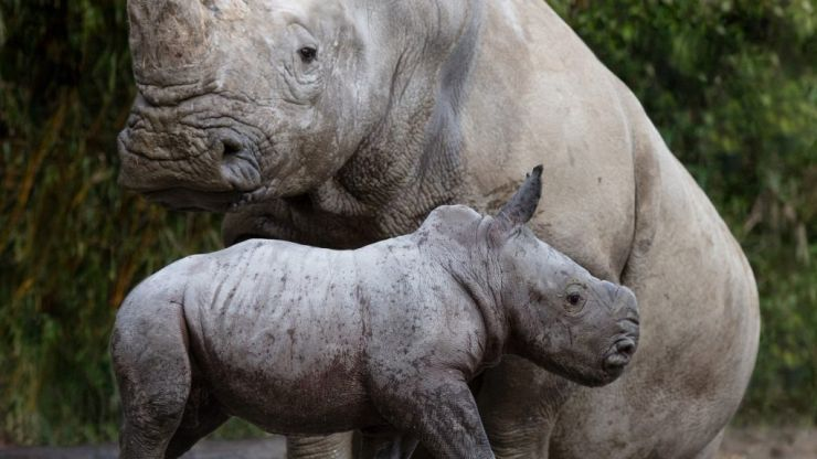 Welcome to the world! A gorgeous little rhino calf has been born at Dublin Zoo