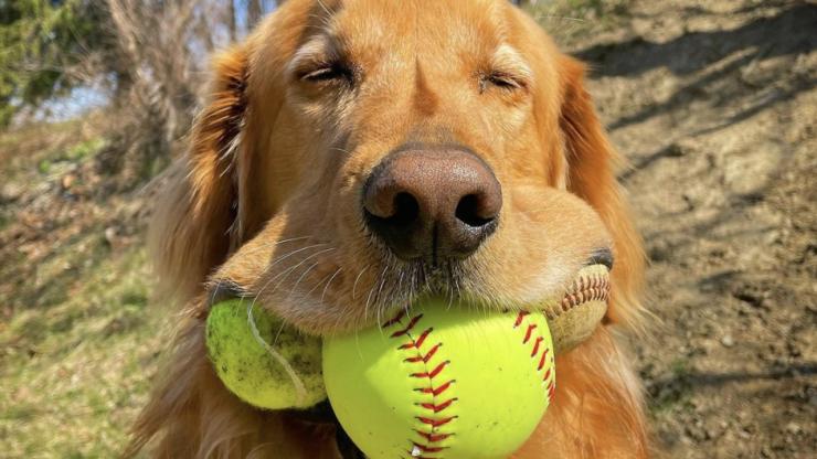 Golden Retriever breaks Guinness world record for most tennis balls in mouth