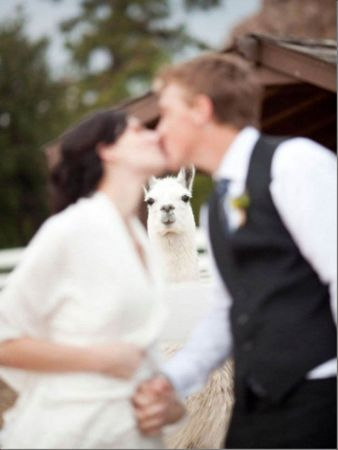 Wedding photobomb #1: An oldie but a goody that opportunistic Ilama still gets us every time.