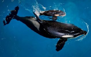 A massive loss: the last orca born in captivity has died at SeaWorld