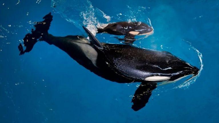 A massive loss: the last orca born in captivity has died at SeaWorld