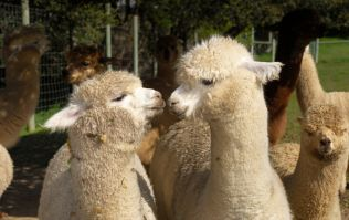 This alpaca farm in Cork sounds like an absolute dream for animal lovers