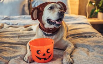 These dogs dressed up for a charity Halloween walk and it's so beautiful