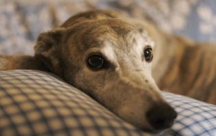 Dogs Trust can't find greyhounds their 'forever home' and the facts are heartbreaking