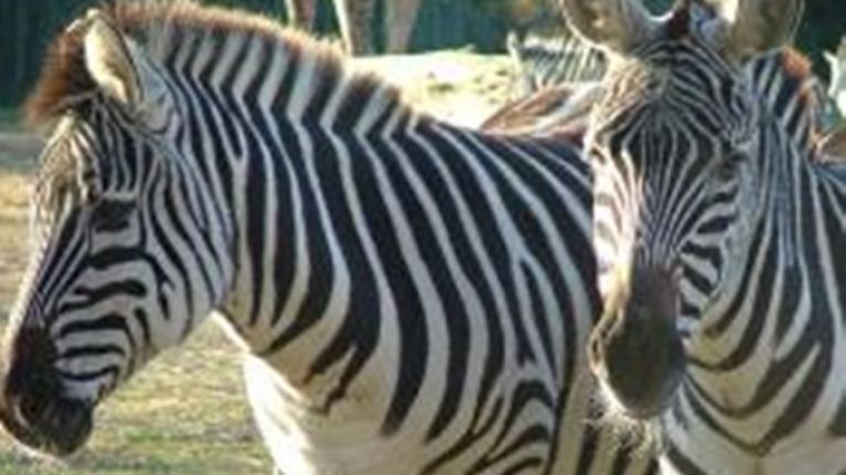 4114343171f45 Zoo denies painting donkey black and white to pass it off as a zebra ...
