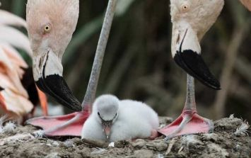 Dublin Zoo welcomes nine flamingo chicks and your kids will love them