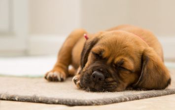 What our dogs dream about is probably the cutest thing you'll read today