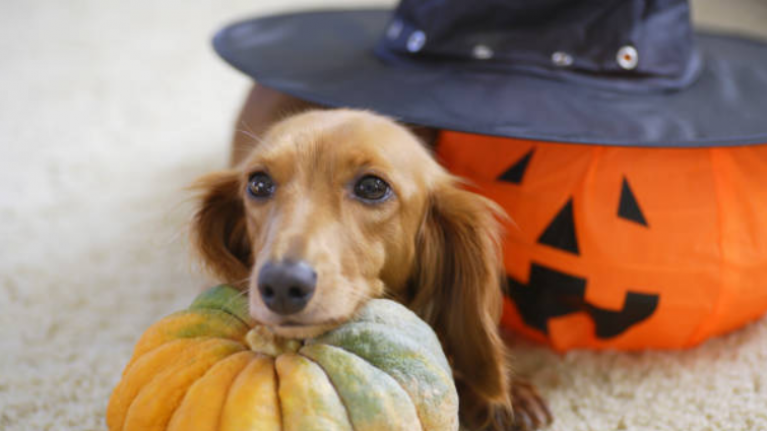 DSPCA share information on how to keep your pet safe this Halloween