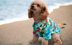 You can now buy a Hawaiian shirt for your dog and sorry, how cute?