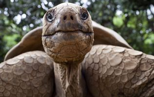 This 100-year-old Galapagos giant tortoise has fathered over 1,000 children