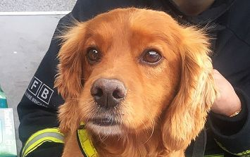 This brave fire brigade search dog's uniform has brightened everyone's day