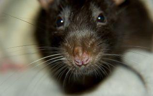 'Rodent fraudster' releases rat in Valentine's Day restaurant blag