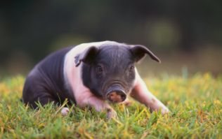 Swine! This micro pig is banned from boozing at a London pub after stealing pints and butting drinkers