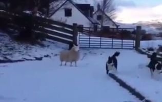 VIDEO: This Scottish sheep that thinks it's a dog is absolutely wonderful