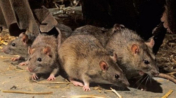 PIC: This giant rat discovered in London is the stuff of nightmares