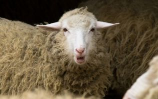 "Stoned sheep go on ""psychotic rampage"" after eating cannabis plants"