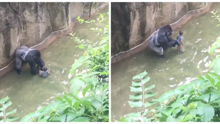 People think this video shows gorilla Harambe trying to protect the boy who fell into zoo enclosure