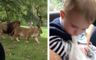 This video of a pair of majestic lions turns very gross very quickly