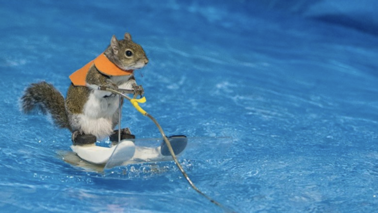 Excuse me, there is a water-skiing squirrel in Toronto and her name is Twiggy