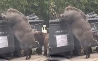 WATCH: Huge feral boar rummage through garbage in shocking video