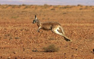 Kangaroo breaks hunter's jaw as he was trying to kill the animals for food