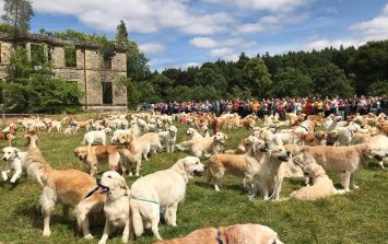 361 Golden Retrievers had a meet up in Scotland and the pictures will brighten your Friday