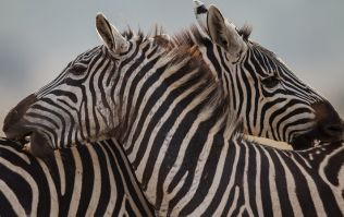 Zoo denies painting donkey black and white to pass it off as a zebra