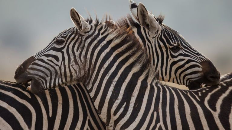 534466d938fe0 Zoo denies painting donkey black and white to pass it off as a zebra